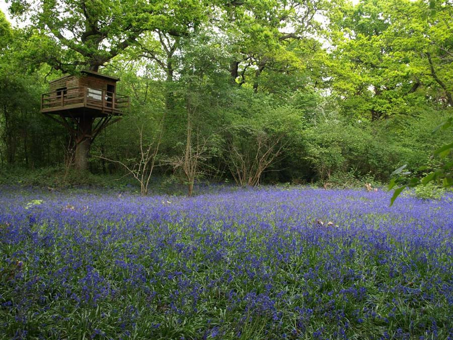 Image of bluebells with tree hide