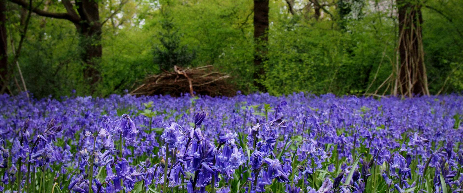 field of bluebells