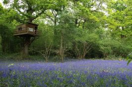 Field of bluebells with tree hide