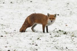 Wintry scene with red fox